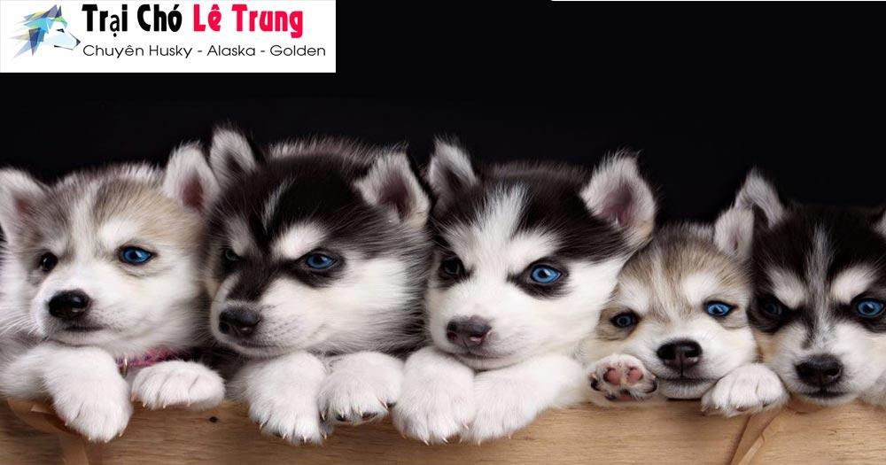 Trại chó Lê Trung- chuyên chó Alaska